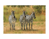 Three Zebras Namibia Posters by David Stribbling