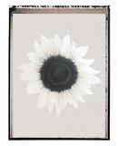 Sunflower Burst Plakater af Erin Clark