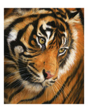 Tiger Face Portrait Art by David Stribbling