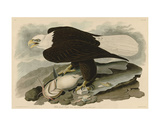 White-Headed Eagle Prints by John James Audubon