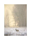 White-tailed Deer in Fog Posters by Jason Savage