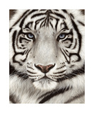 White Tiger Face Portrait Wydruk giclee autor Rachel Stribbling