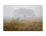 Tree in Fog Prints by David Lorenz Winston
