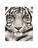 Rachel Stribbling - White Tiger Face Portrait Obrazy