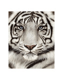 White Tiger Face Portrait Prints by Rachel Stribbling