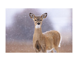 Winter White-tailed Deer Poster by Jason Savage