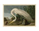 White Heron Prints by John James Audubon