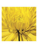 Yellow Mum 4 Prints by Jenny Kraft