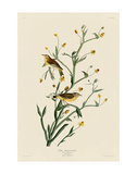 Yellow Red-Poll Warbler Posters by John James Audubon