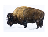 Winter Bison Kunst av Jason Savage