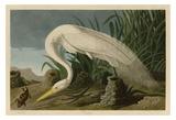 White Heron Prints by John James Audubon