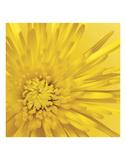 Jenny Kraft - Yellow Mum 3 Umění