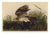 Winter Hawk Posters by John James Audubon