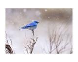 Yellowstone Bluebird Lámina por Jason Savage