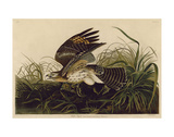 Winter Hawk Art by John James Audubon