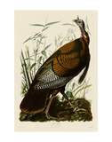 Wild Turkey I Print by John James Audubon
