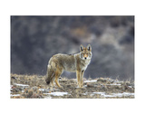 Yellowstone Coyote Prints by Jason Savage