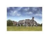 Zebras Posters by Rachel Stribbling