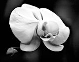 White Orchid Art by Harold Silverman