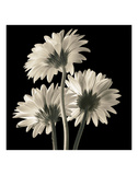 Gerber Daisies 2 Prints by Michael Harrison
