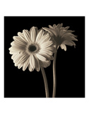 Gerber Daisies 1 Print by Michael Harrison