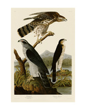 Goshawk and Stanley Hawk Prints by John James Audubon