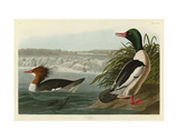 Goosander Prints by John James Audubon