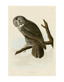 Great Cinereous Owl Art by John James Audubon