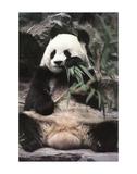 Panda gigante Poster di Art Wolfe