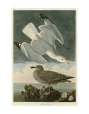 Herring Gull Posters par John James Audubon