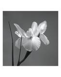 Iris I Posters af Tom Artin