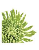 Green Bloom 3 (detail) Prints by Jenny Kraft
