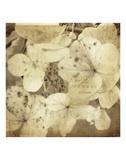 Hydrangeas 1 Art by Dawne Polis