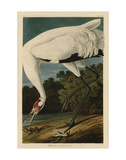 Hooping Crane Art by John James Audubon