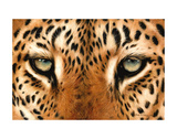 Leopard Eyes Painting Print by Sarah Stribbling