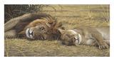 Löwe und Löwin Kunstdrucke von Adam Smith