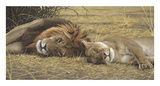 Lion and Lioness Prints by Adam Smith