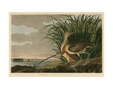 Courlis à long bec Affiches par John James Audubon
