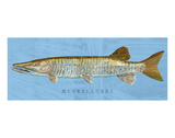Muskellunge Posters by John Golden