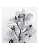 Orchid Spray I Plakater af Tom Artin