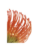 Orange Protea 5 Poster by Jenny Kraft