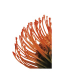 Orange Protea 4 Art by Jenny Kraft