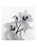Orchideezerstäuber II Poster von Tom Artin