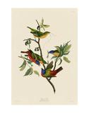 Painted Finch Plakater af John James Audubon