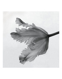 Tulipe perroquet II Affiches par Tom Artin