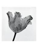 Tulipe perroquet I Affiches par Tom Artin