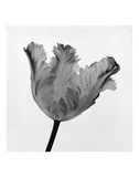 Parrot Tulip I Prints by Tom Artin