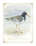 Oyster Catcher Prints by  Art Marketing