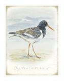 Oyster Catcher Prints by  Art Marketing