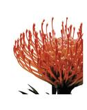 Orange Protea 1 (detail) Art by Jenny Kraft